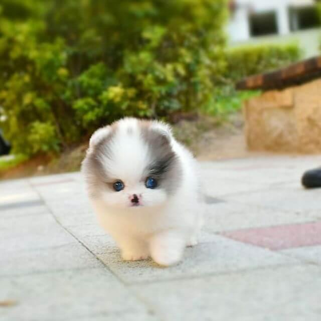Mimi - Female Teacup Pomeranian | Mini Teacup Puppies