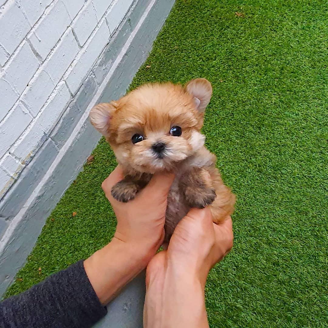Buy Mini Morkie Puppies In New Brunswick Canada